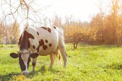 在看照相机的牧场地的美丽的白色红发幼小母牛 免版税库存照片