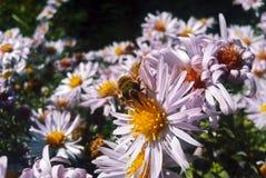 在看照相机的花的蜂 免版税图库摄影