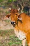 在看照相机的领域的布朗母牛 库存照片