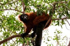 在看环境的树的抓住衣领口的棕色狐猴 图库摄影