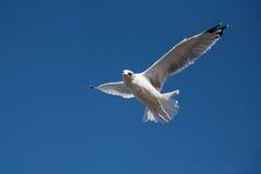 在看的天空的海鸥下来 免版税库存照片