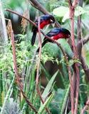 在看的树的二重齿状的热带巨嘴鸟下来 库存照片