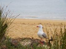 在看的海滩的海鸥身分斜向一边 免版税库存照片