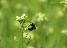 在看的花的谦逊的蜂非常好 免版税库存照片