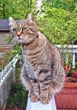 在看的门廊的高地天猫座虎斑猫  库存图片