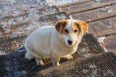 在看直接在眼睛的门阶的一只流浪狗 免版税库存图片