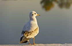 在看落日的江边的海鸥 免版税库存图片