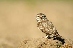 在看见的猫头鹰文化领域 免版税库存图片