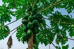 在看起来令人敬畏的近的房子庭院的树的可口绿色番木瓜 库存图片