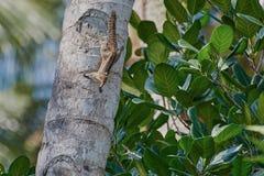 在看起来椰子树的树干的灰鼠机敏 免版税图库摄影