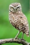 在分支的猫头鹰 免版税库存照片