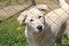 在看逗人喜爱照相机的篱芭后的白色狗小狗 库存图片