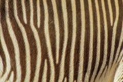 在真正的斑马条纹的焦点 免版税库存图片