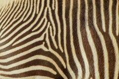 在真正的斑马条纹的焦点 免版税库存照片