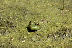 在眼子菜的牛蛙 免版税库存照片