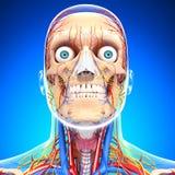 在眼睛蓝色的循环和神经系统, 免版税图库摄影