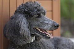 在眼花撩乱的衣领斜倚的标准狮子狗 免版税库存照片