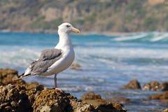 在眼镜栖息的海鸥 免版税图库摄影
