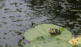 在睡莲叶的呱呱地叫的青蛙 库存图片