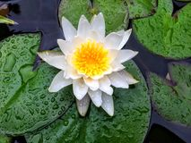在睡莲叶的开花的百合花 免版税库存图片