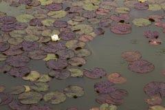 在睡莲叶的花 免版税图库摄影