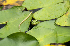 在睡莲叶的青蛙 免版税库存照片