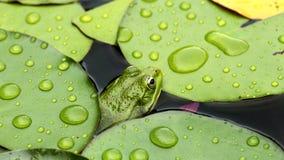 在睡莲叶的青蛙 免版税图库摄影