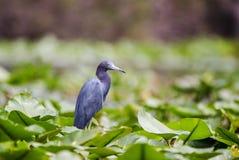 在睡莲睡莲叶的小的蓝色苍鹭, Okefenokee沼泽全国野生生物保护区 免版税图库摄影