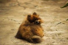 在睡觉室外美丽的动物的Pomeranian狗 库存照片