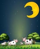 在睡觉月亮下的母牛 免版税库存图片