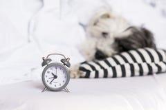 在睡觉狗背景的闹钟 免版税库存图片