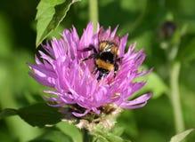 在矢车菊的土蜂 库存图片