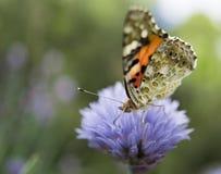 在矢车菊的蝴蝶 库存图片