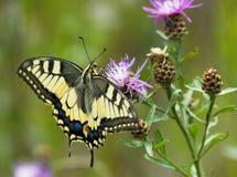 在矢车菊的Machaon蝴蝶 库存图片