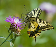 在矢车菊的Machaon蝴蝶 库存照片