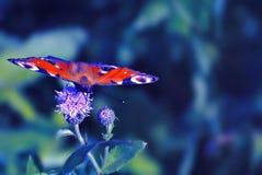在矢车菊花的蝴蝶 夏天领域背景 免版税库存图片