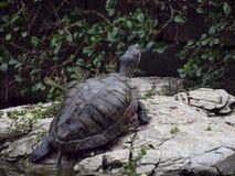 在短一只幼小乌龟后在岩石站立在g旁边 免版税库存图片