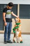 在矮子穿戴的金毛猎犬 免版税库存照片