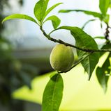 在矮小的树的年轻桃子 库存照片
