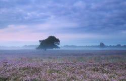 在石南花开花的草甸的有薄雾的早晨 库存图片
