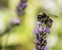在石南花的土蜂 库存照片