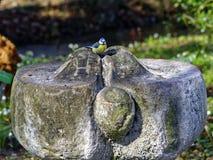 在石喷泉的欧亚蓝冠山雀鸟 库存图片