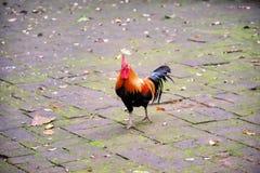 在石地板背景的美丽的雄鸡 免版税图库摄影