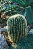 在石地面增长与长的刺的一个卵形仙人掌 库存照片