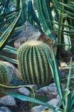 在石地面增长与长的刺的一个卵形仙人掌 免版税库存照片