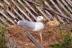 在石块海岛的嵌套海鸥由篱芭 库存图片