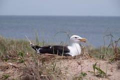 在石块海岛, RI的嵌套海鸥 库存图片