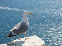 在石墙上的一个海鸥身分,如果在莱里奇的城堡拉斯佩齐亚海湾的在地中海的利古里亚意大利 免版税库存图片