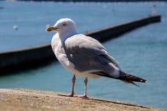 在石墙上的大海鸥在阳光下 免版税库存照片