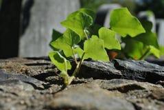 在石墙上的宏观常春藤 免版税图库摄影